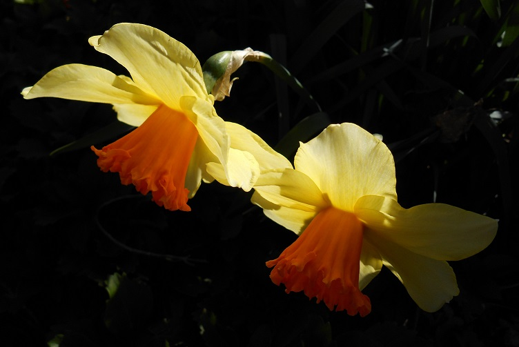 daffodils-close