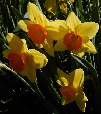 daffodils-medium
