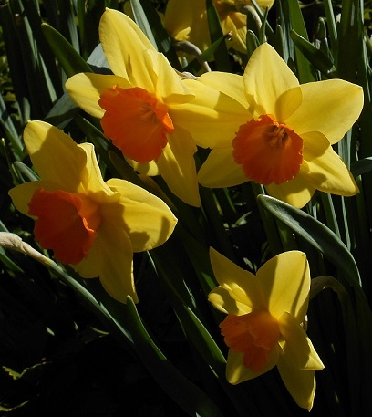 daffodils-medium