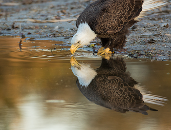 eagle-drinking_350x266