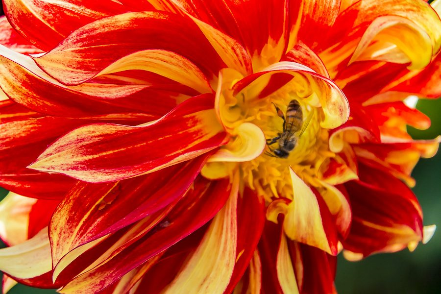 red-yellow-dahlia_bee