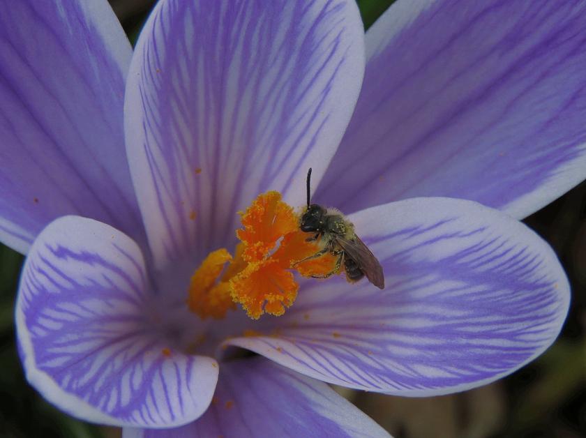 crocus-bee_crop_sharp_840x628