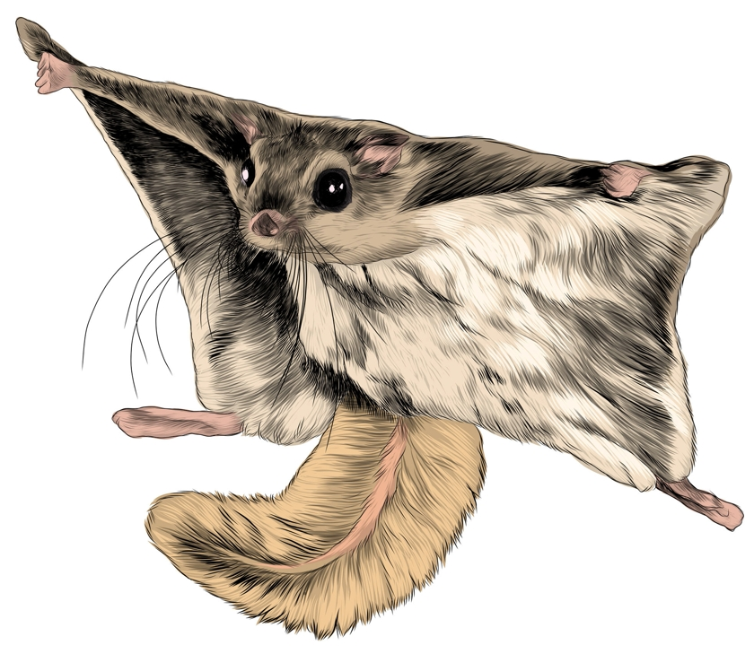 the flying squirrel sketch vector graphics  picture