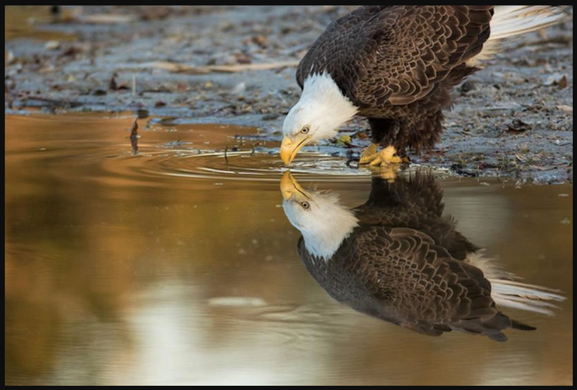 DavidEppley_EagleDrinking_840x568