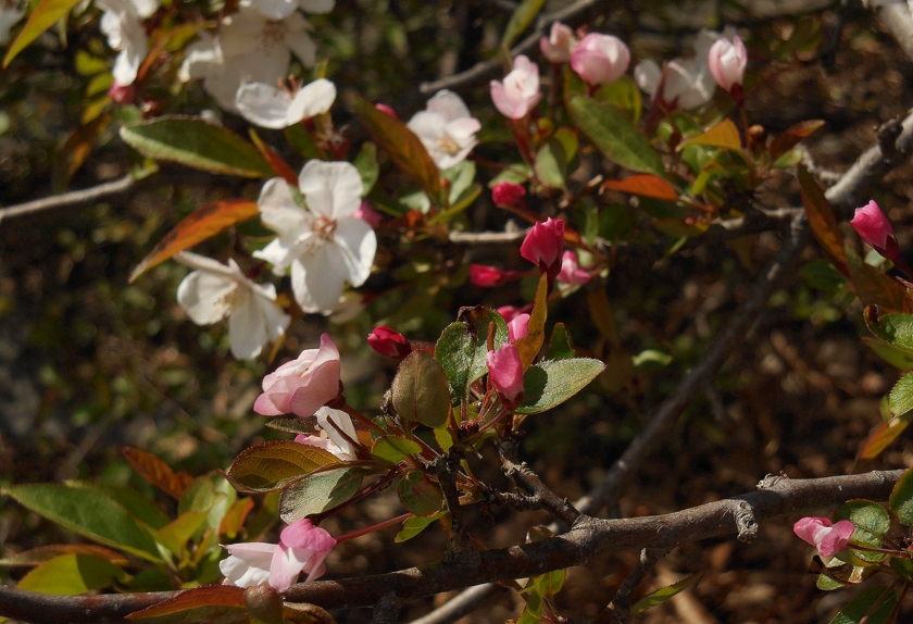 apple-blooms_840x574