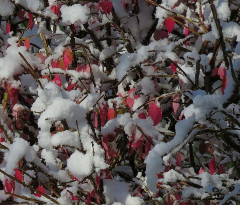 SnowBurningBush_840x718